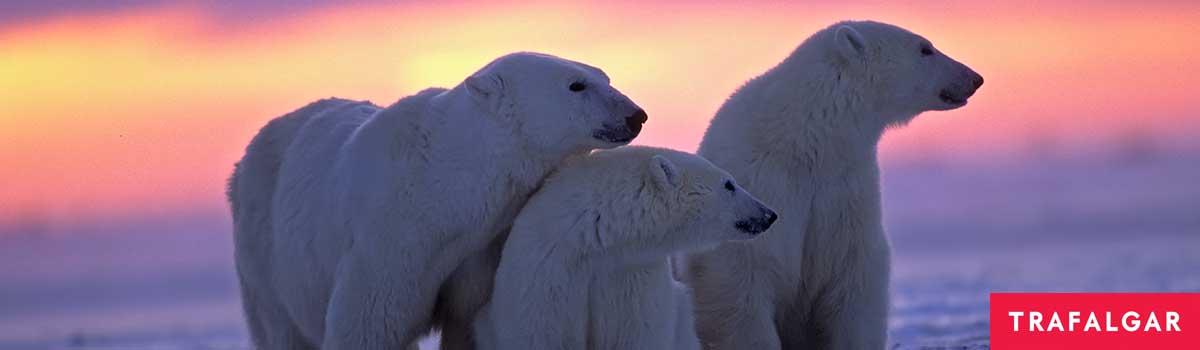 Trafalgar Polar Bears in Manitoba