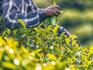 Sri Lanka plantations de thé