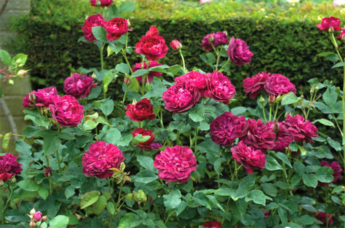 Tailler un rosier les astuces - A quel moment tailler les rosiers ...