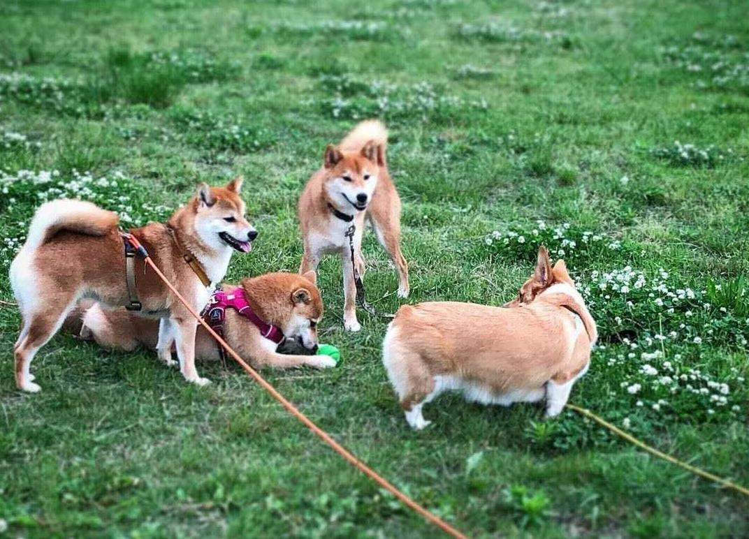 📸:柴犬と交流を楽しむコーギー モカちゃん(@oricorgi_moca)