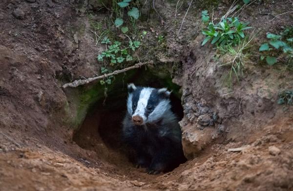 巣穴からひょっこり、穴熊(アナグマ)