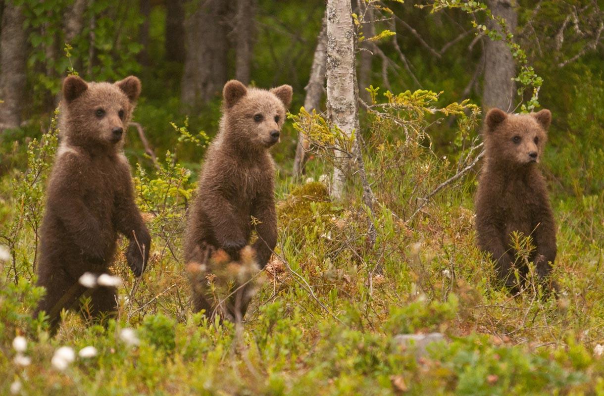 Tahdotko kuvata karhunpoikasia? Kuhmossa se onnistuu.