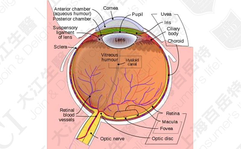 The anatomy and the structure of the eye, Data source: Wikipedia